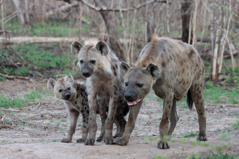 Why Do Female Hyenas Have Pseudo-Penises? | Video ...