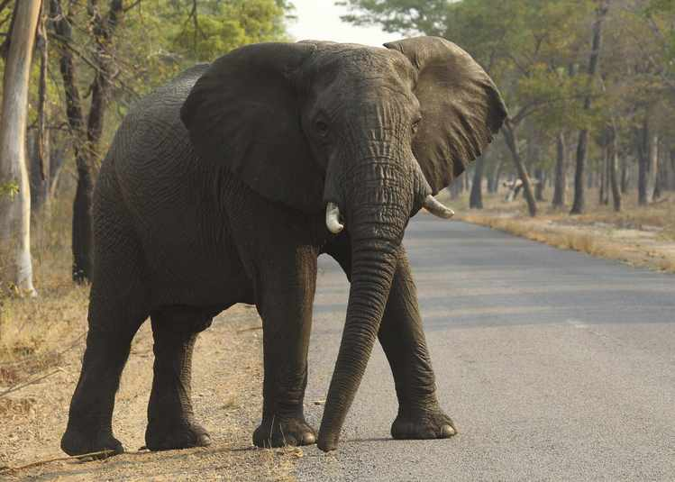 Could Elephant Genes Help Us Prevent Cancer?