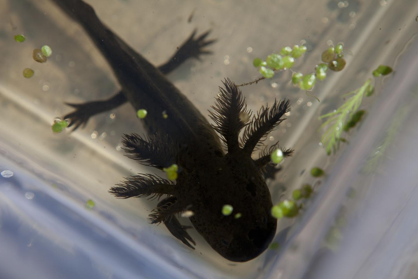The Axolotl: Our Great Hope for Human Regeneration?