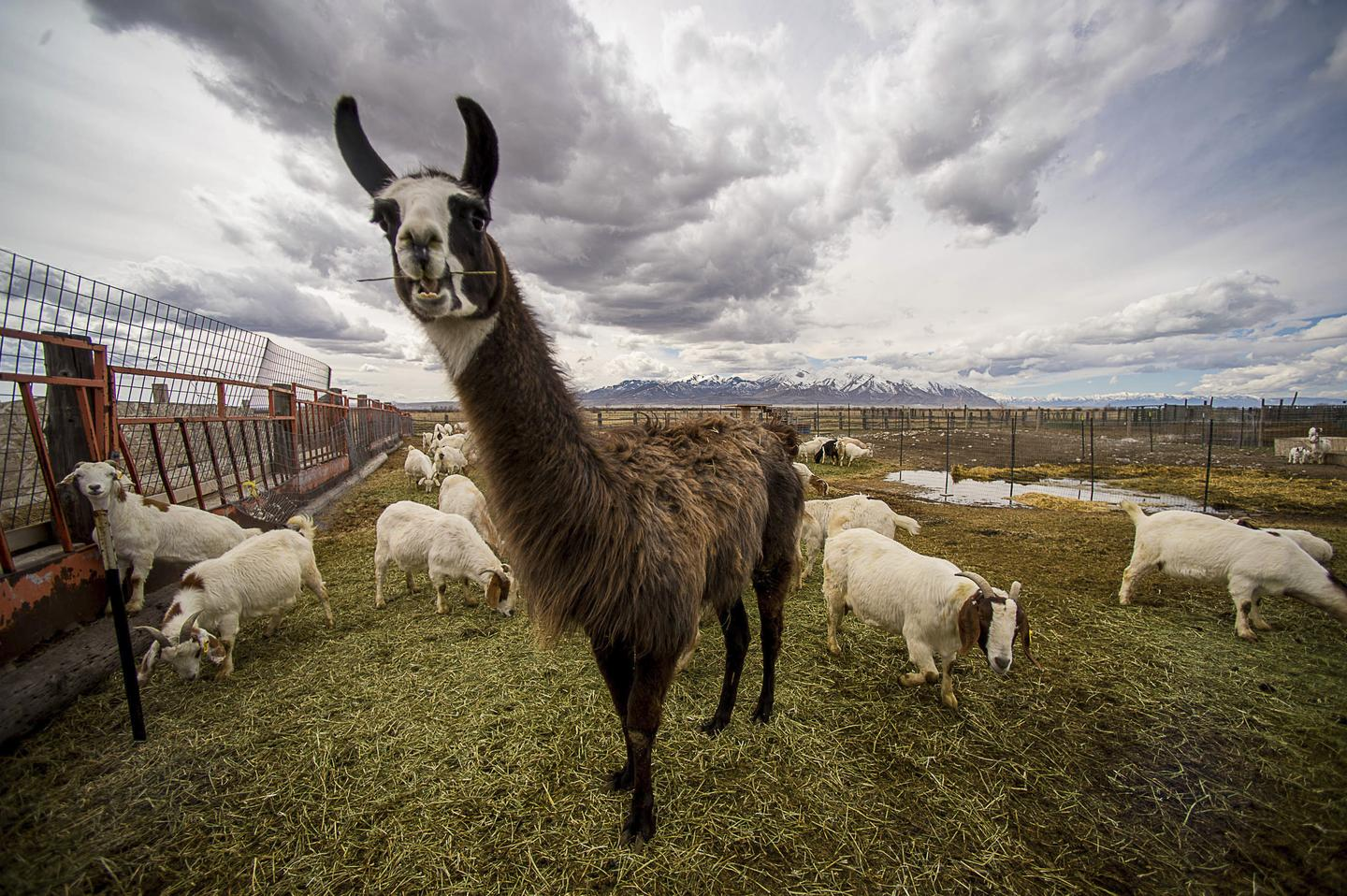 """Llamas Could Lead Us to a Universal Flu """"Vaccine"""""""