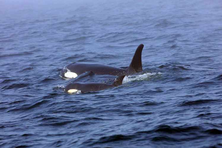 Killer Whales Are Expanding Into the Arctic, and Dying