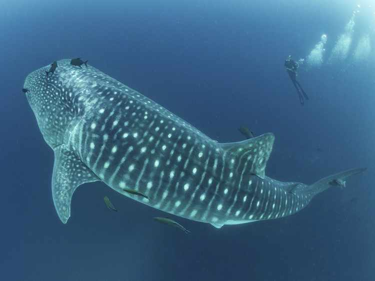 Whale Shark Mating Attempt Photographed for First Time