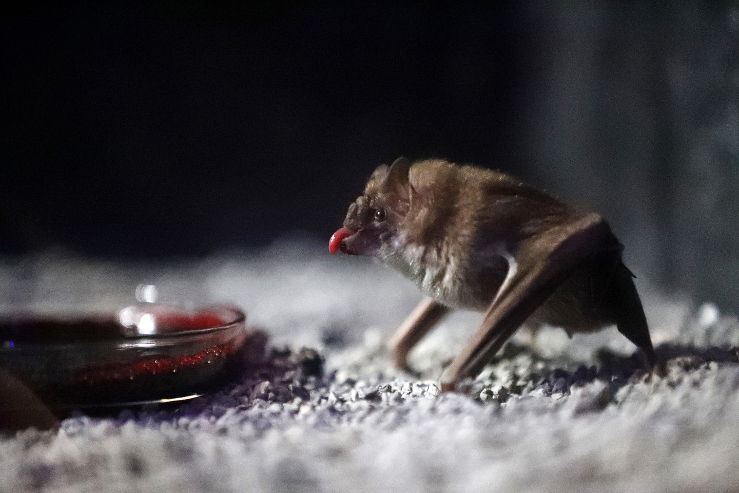 COVID-19 Reignites Contentious Debate Over Bats and Disease
