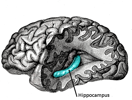 Modern Life May Be Shrinking the Hippocampus. Here's How to Grow It