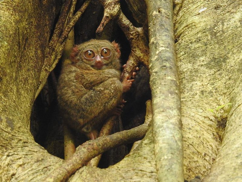 The First Evidence of Ultrasound Echolocation in Primates?