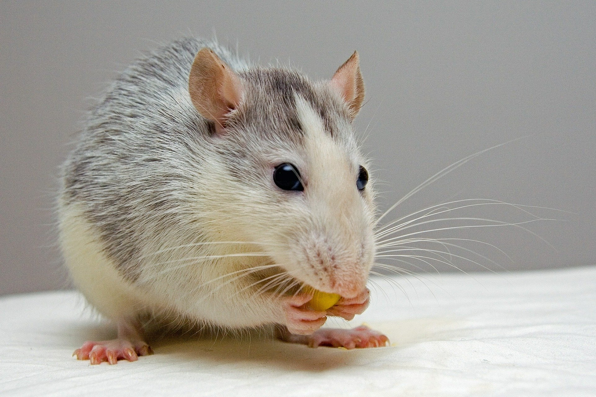 How We Found a Special Equation Hidden in Rat Whiskers