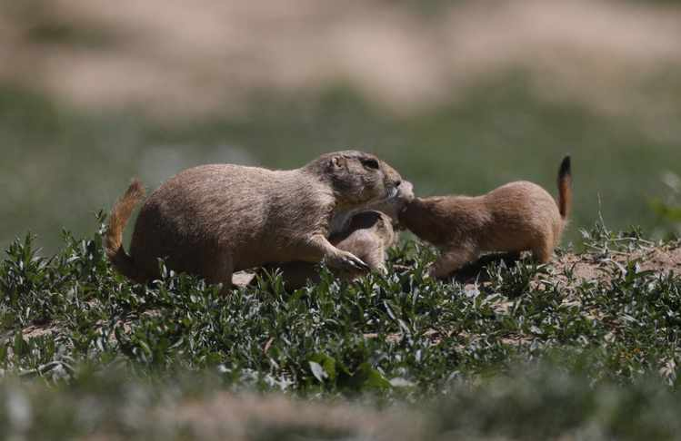 Why Prairie Dogs Are Ecological Heroes