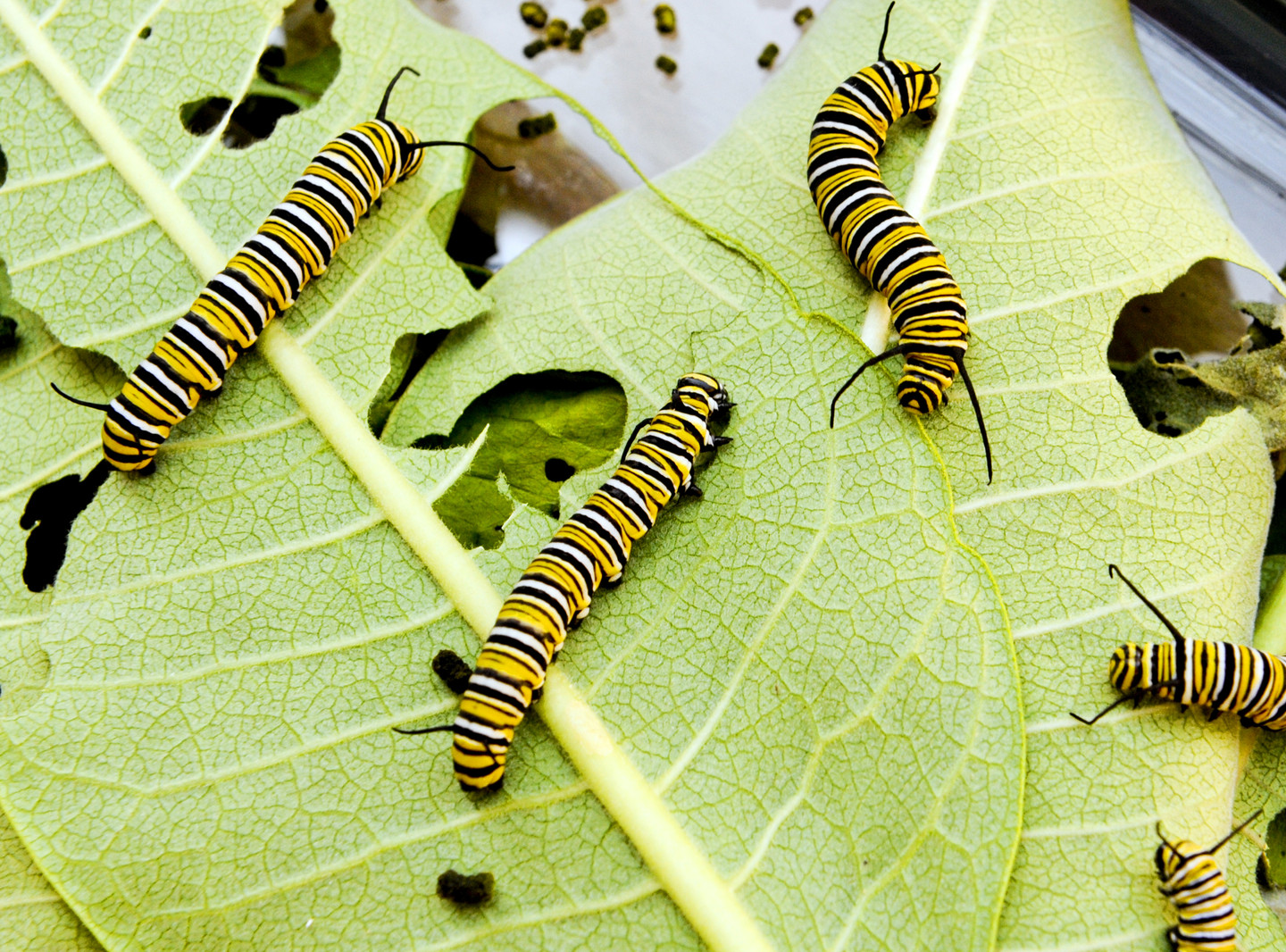 Scarce Food Turns Monarch Butterfly Caterpillars Into Monsters