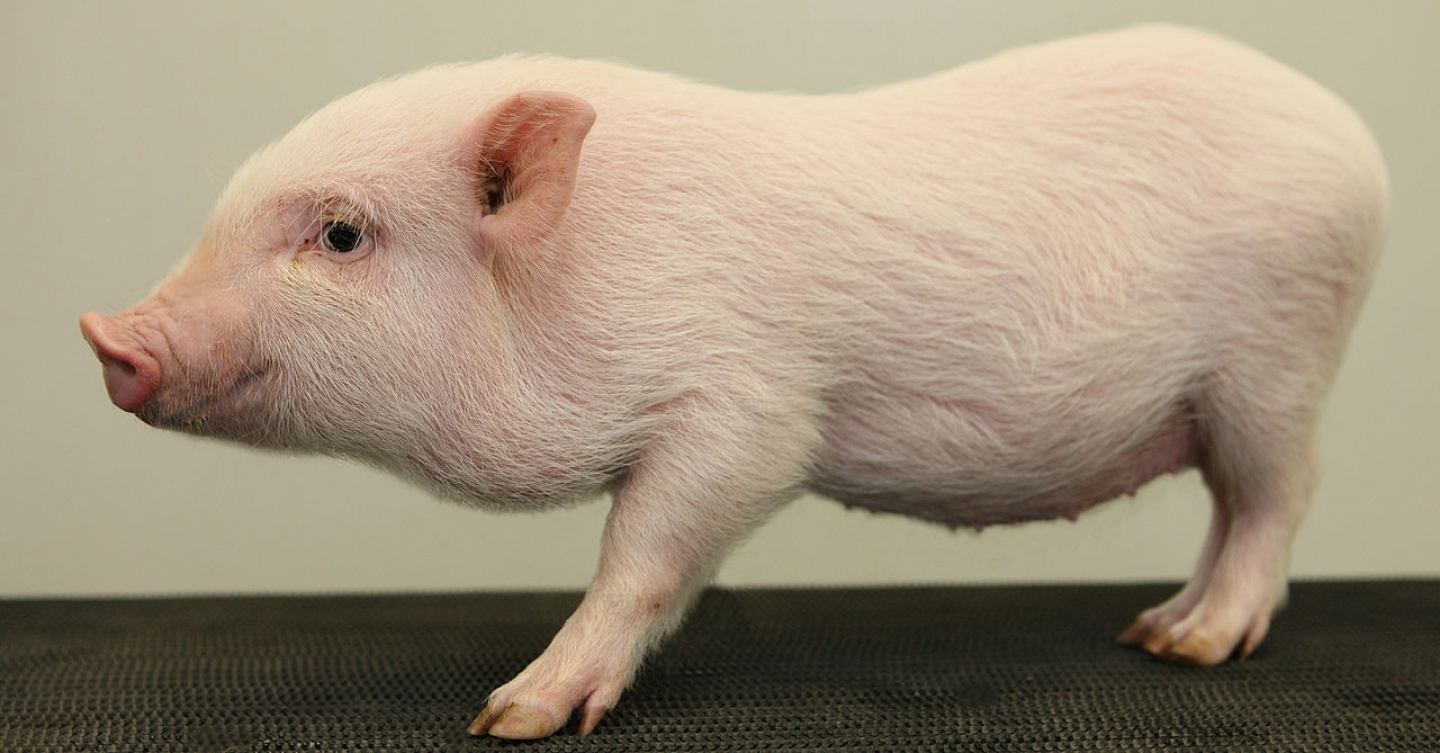 Do Pet Pigs Interact With Their Owners Like Dogs?
