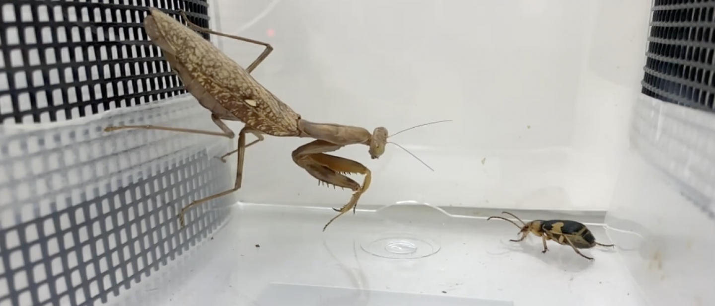 Praying Mantises Can't Stand 'Beetle Bombs'